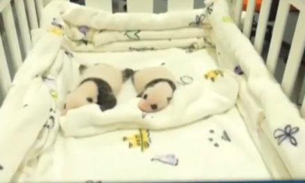 Les petits pandas de Macao se portent bien